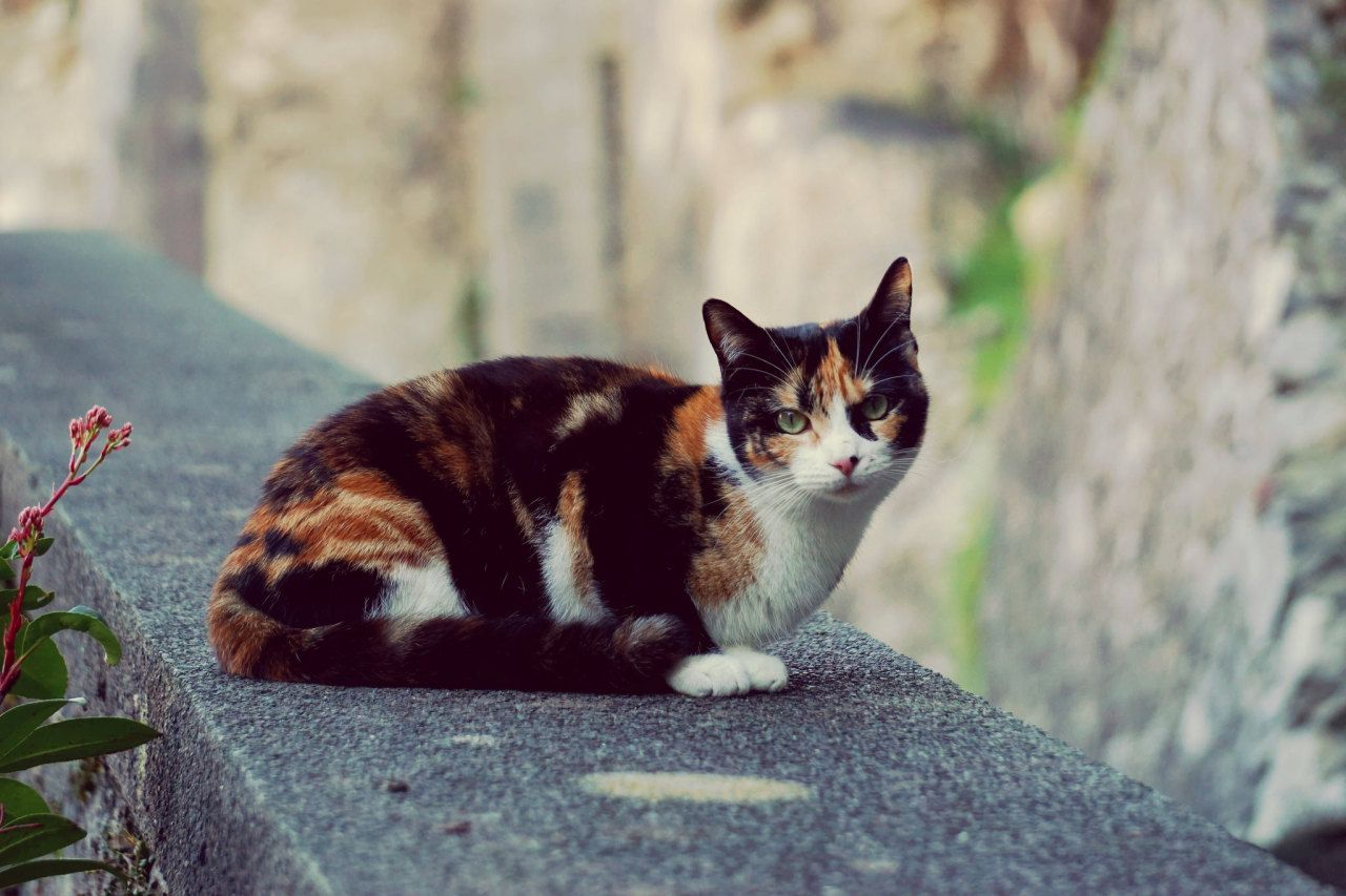Calico cat on the wall cat feline calicocat Cute cats