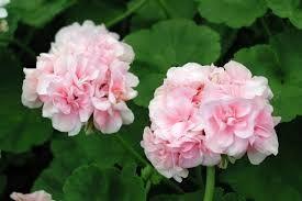 """Ingrid var meget glad for blomster og har fået opkaldt denne pelargonie efter sig """" Dronning Ingrid """""""