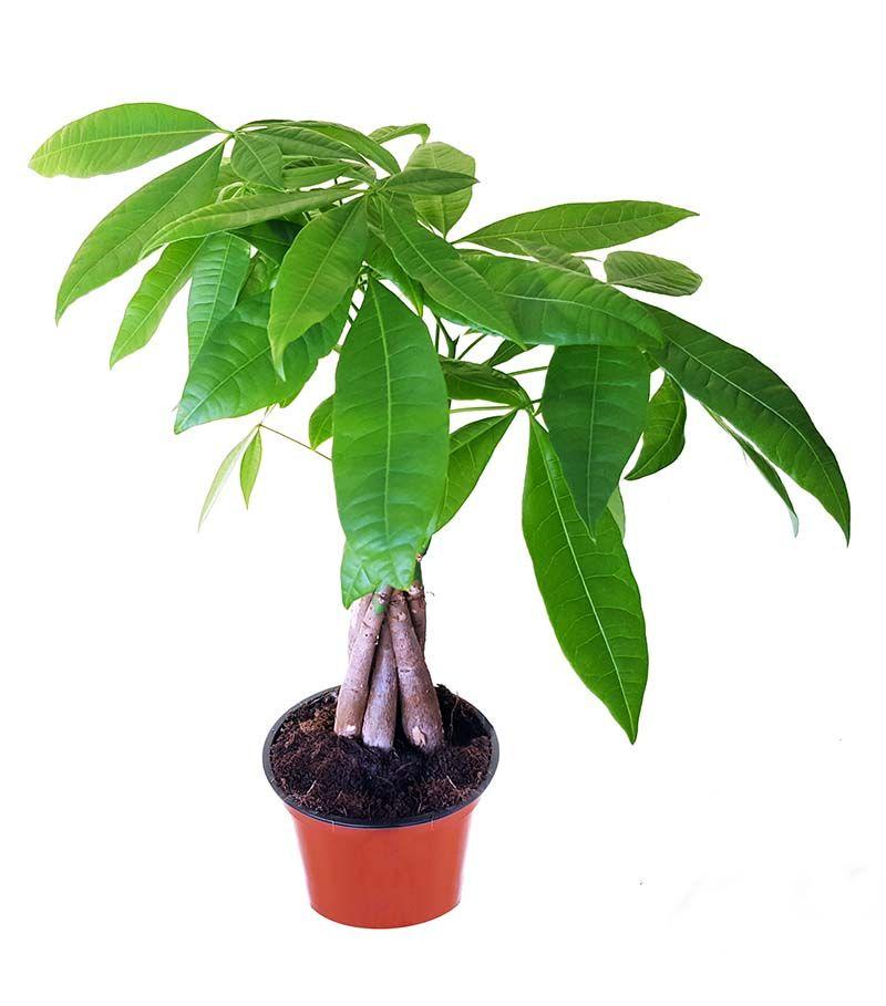 Money Tree Plant Pachira Aquatica A Beginner S Guide To