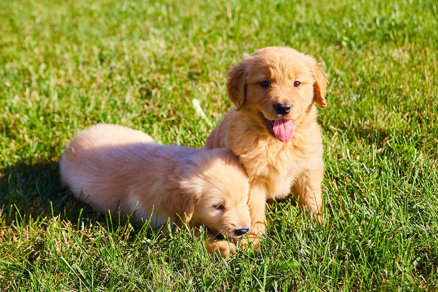 We Don T Have Many Golden Retriever Puppies Left While Their Sisters All Sold These Boys Are Still Up For Adoption They C Golden Retriever Puppies Retriever