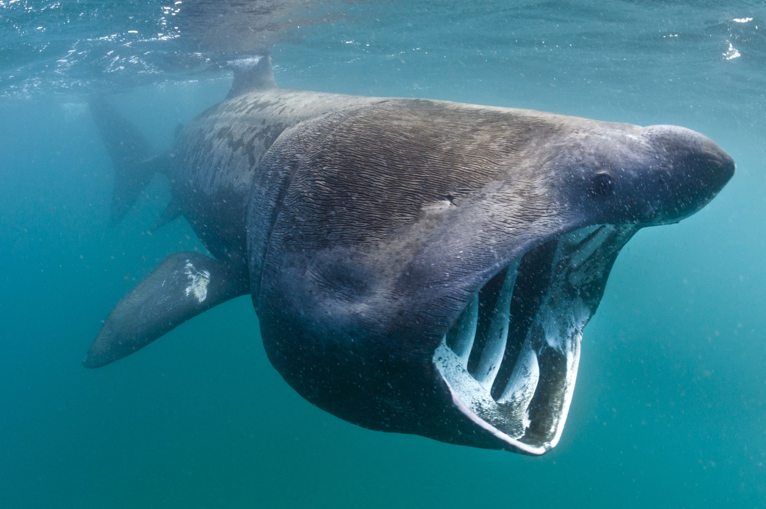 the habitat and unusual characteristics of the basking sharks Whale sharks have very this is in contrast to the passive feeding basking shark this is unusual because of the comparatively long.