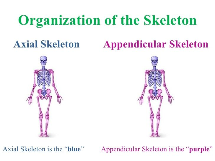 Appendicular skeleton – Appendicular Skeleton Worksheet