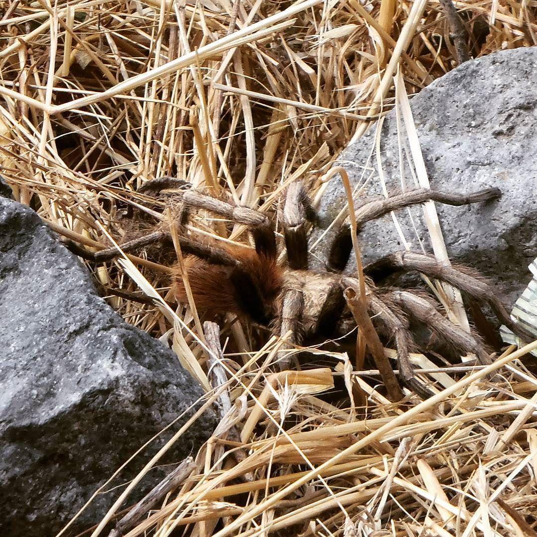 Compañero de aventura Adventure buddy #tarantula #pin