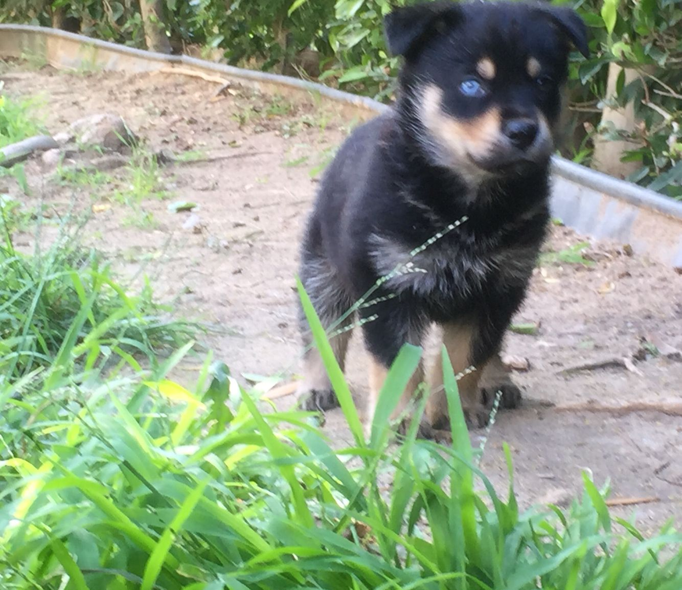 My New Rottweiler Husky Mix Rottsky Rottweiler Lovers