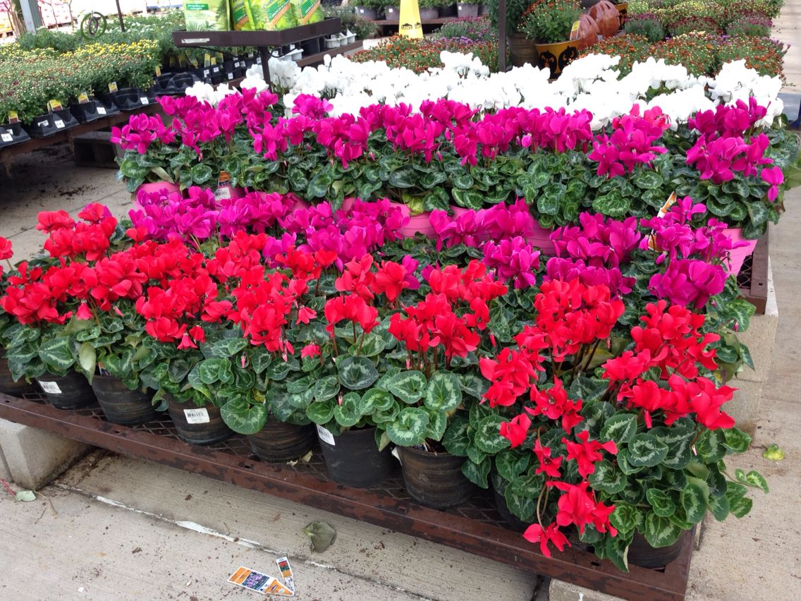 Cyclamen In Our 3 0qt Color Pot Beautiful Lowe S 2822 Spring