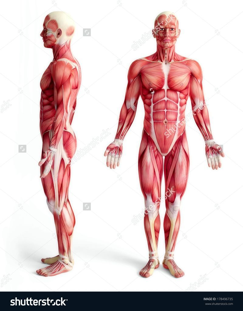 Male Muscle Anatomy Male Anatomy Of Muscular System Front And Side