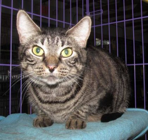 Inverness, FL Maine Coon. Meet MIDGE a Pet for Adoption