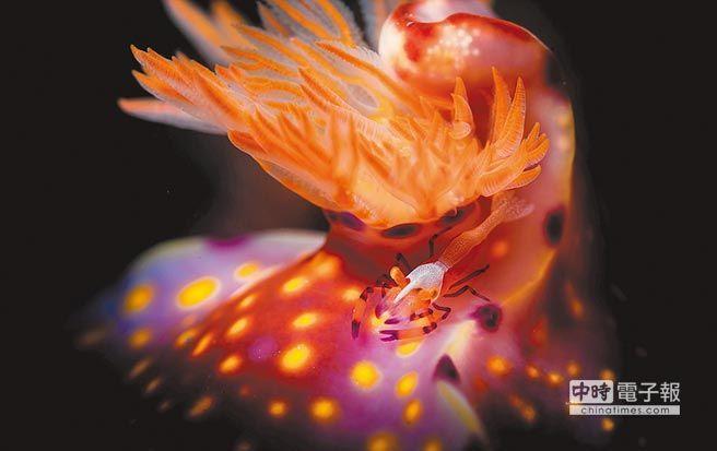 海蛞蝓的體型已經很嬌小了,若仔細看,有時還可在牠身上發現更小的共生帝王蝦。(Howard)
