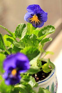 Karma Blue Butterfly Pansies - Window Garden