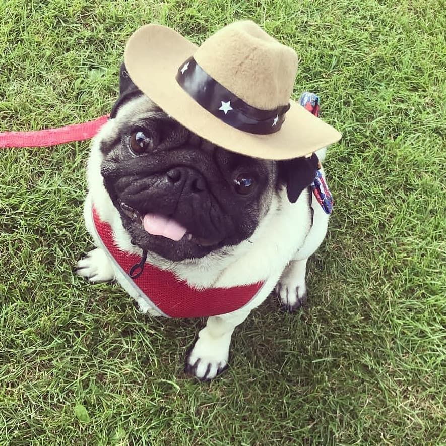 Pet dog or cat can cowboy hat. Perfect for a wild west party. Pugs in hats. 9d8589a9d955