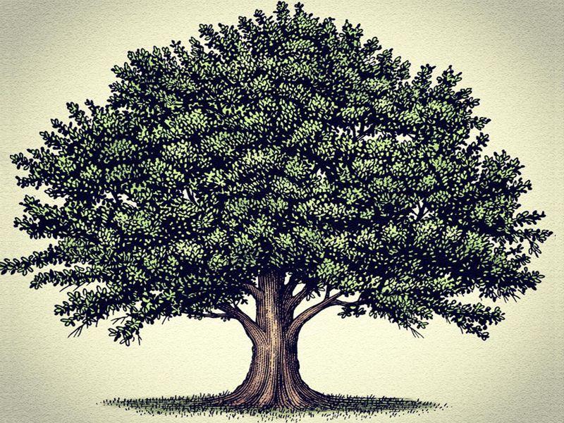 Рисованные картинки дуб