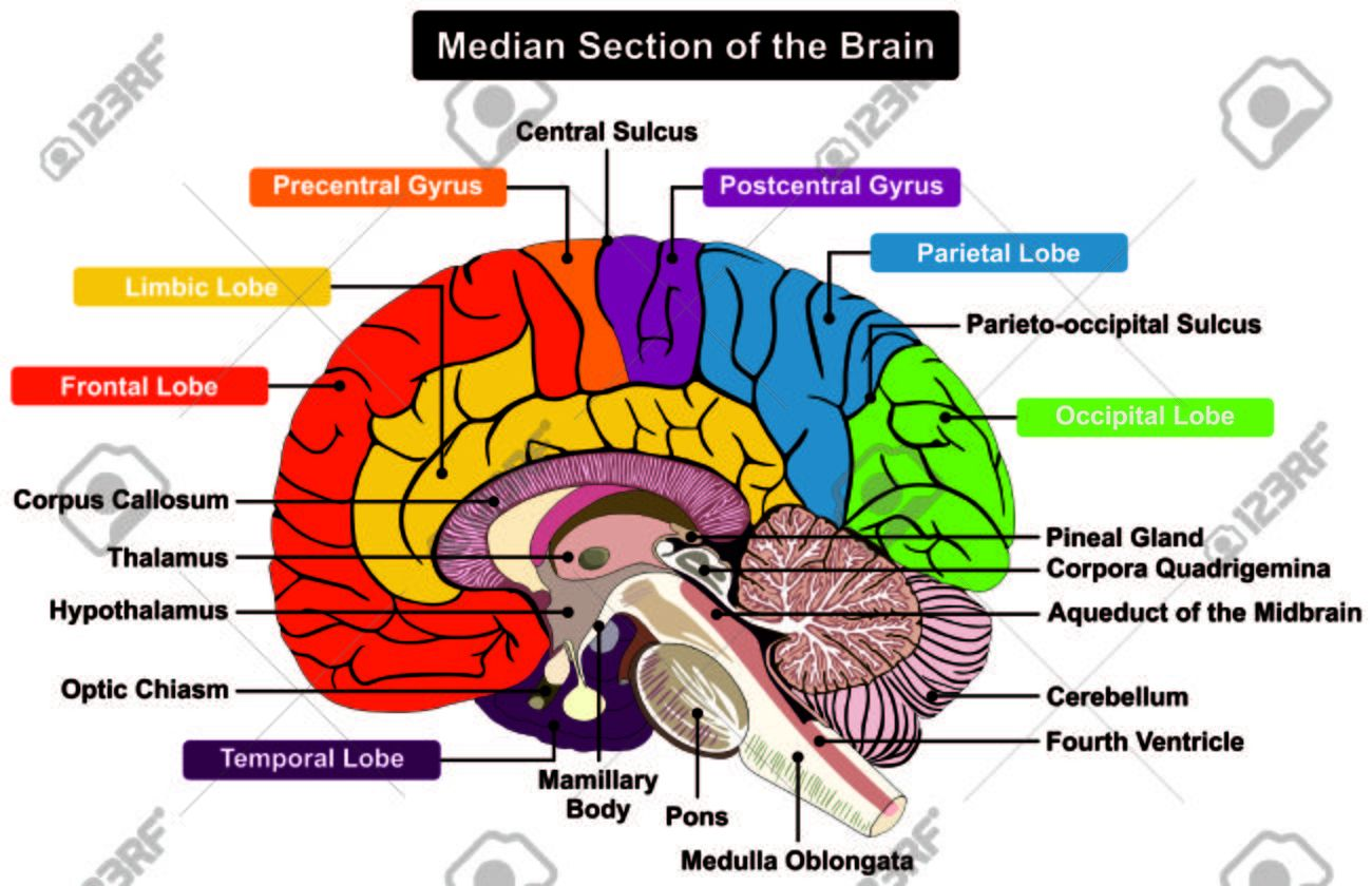 Labeled Diagram Of The Human Brain Koibana Info Human Brain Anatomy Human Brain Diagram Brain Diagram