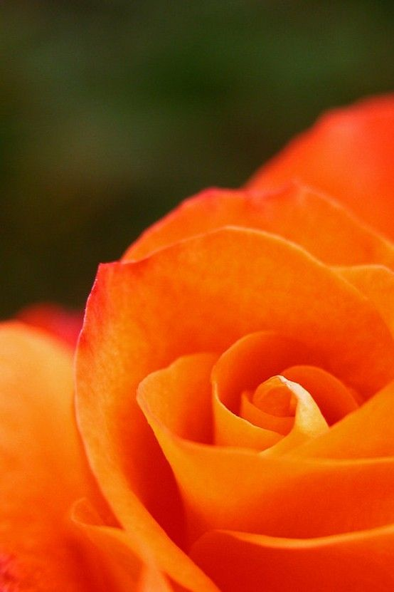 Orange Rose Photograph by Kay Berry