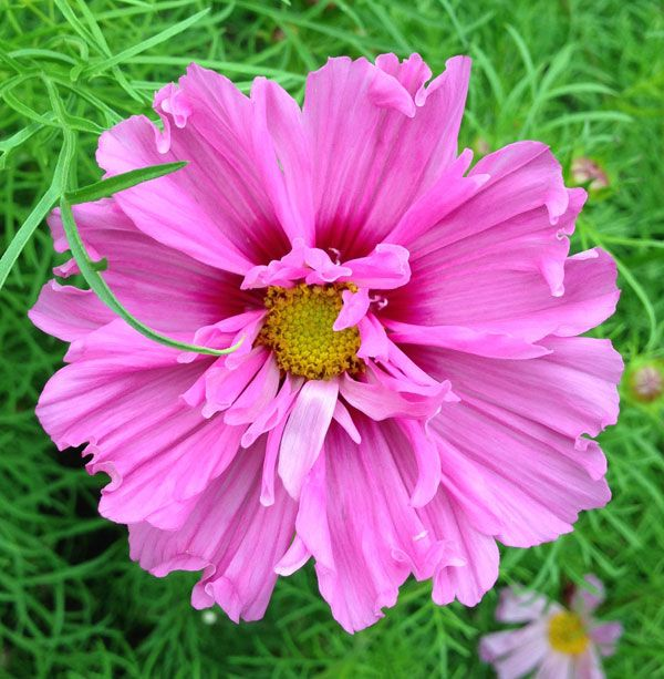 Cosmos Double Dutch Rose Jpg 600 613 Plant Seedlings Flowers Seedlings