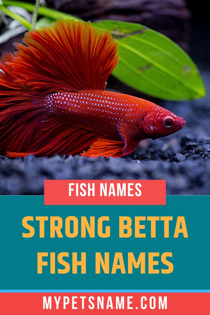 Strong Betta Fish Names In 2020 Betta Fish Betta Fish Types Fish