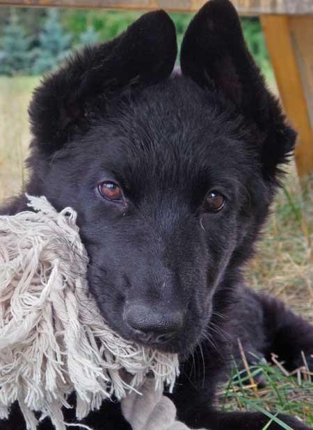 Black German Shepherd Pup Love This Ear Stage German