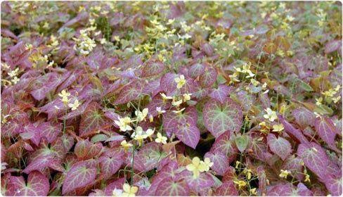 Epimedium fr hnleiten evergreen groundcover pflanzen f r for Evergreen pflanzen