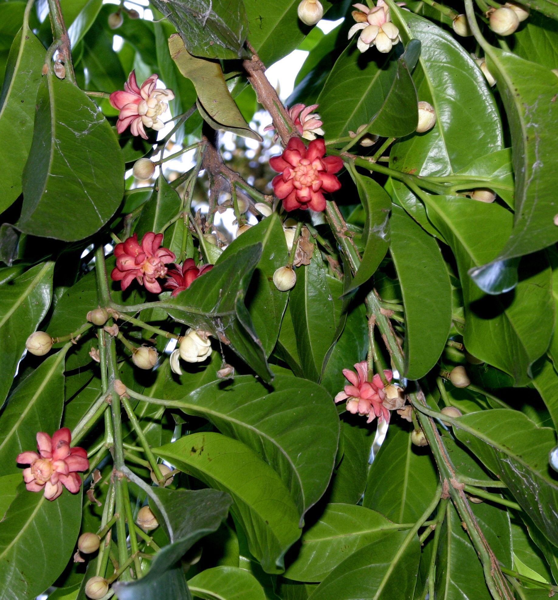 Native Plant Design: The Ribbonwood Tree (Idiospermum Australiense) Genus Of