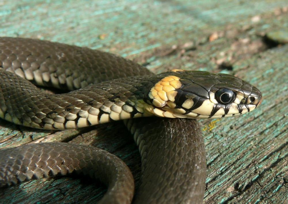 картинки и описание змей одно немногих мест
