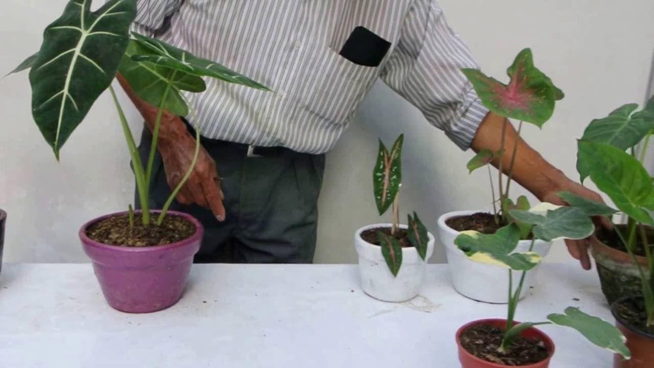 Una Planta Llamada Corazon De Jesus Corazon De Jesus Cuidado De Plantas De Jesus