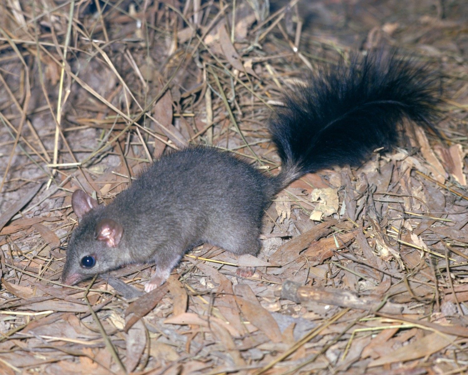 Brush Tailed Phascogale Phascogale Tapoatafa Also Known By Its