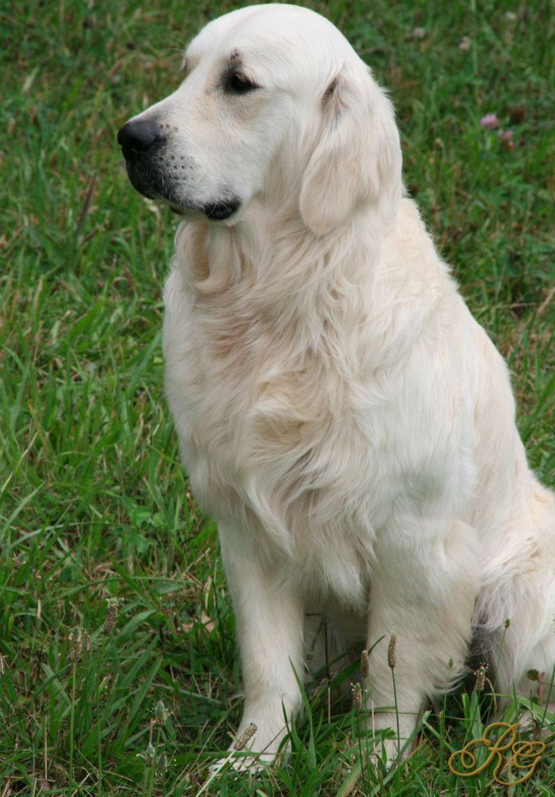 British Golden Retriever Goldenretriever Retriever White