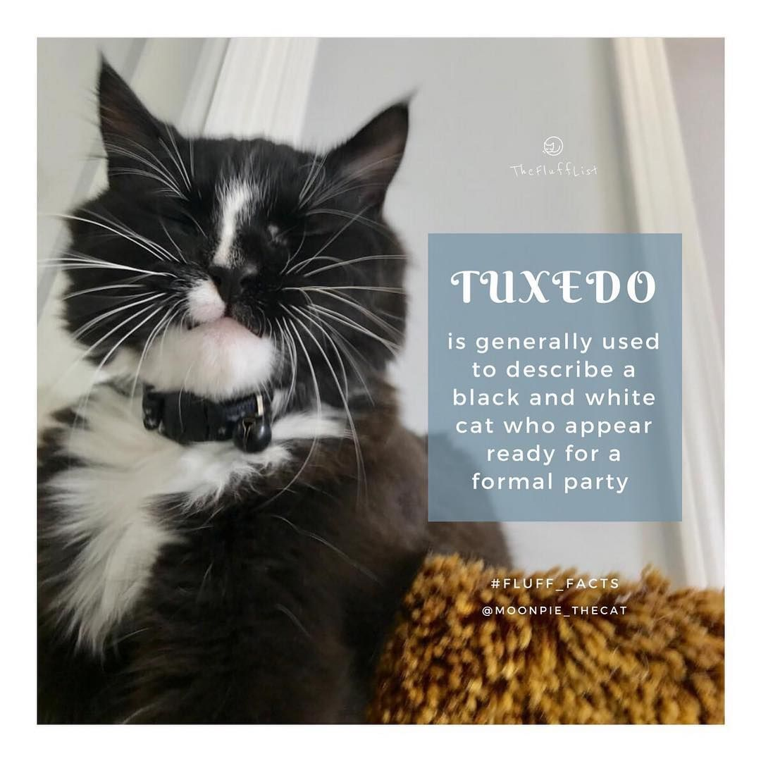 The Term Is Most Commonly Used To Describe Black And White Cats Whose White Markings Start Under The Chin And Extend Down The B White Cats Cats Black And White