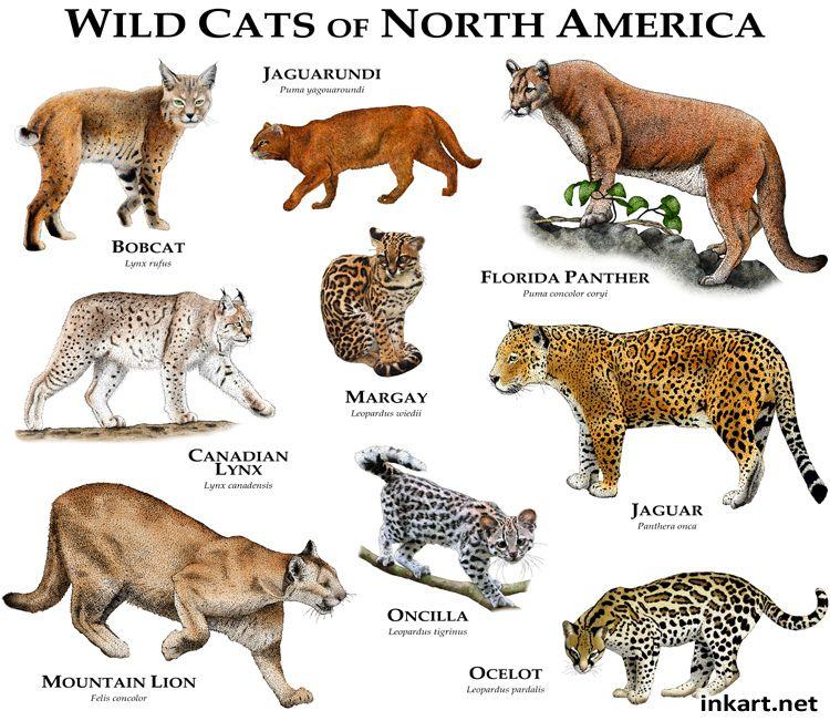 Wildcats Of North America Wild Cat Species Wild Cats Small Wild Cats