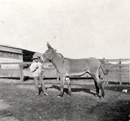 Peter Amestoy with Rancho Los Encinos work mule around 1908. Peter Amestoy with Rancho Los Encinos work mule around 1908. In 1889, Domingo Amestoy bought the Rancho. This was the last time the 4,460 acre ranch was sold as a whole. In the coming years, it would slowly be sold, a piece at a time. Rancho Los Encinos. San Fernando Valley History Digital Library.