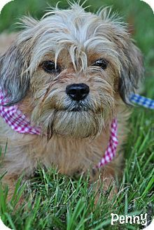 Cairn Terrier Mix Kelly S Dog Search Cairn Terrier Mix Cairn