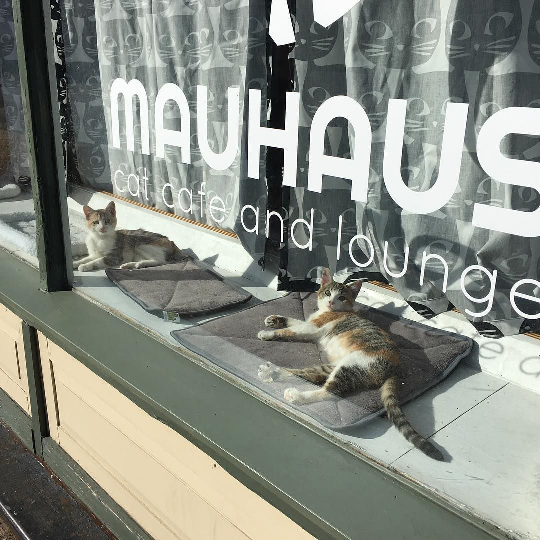 Mauhaus cat cafe and lounge in Maplewood MO. Really wanna