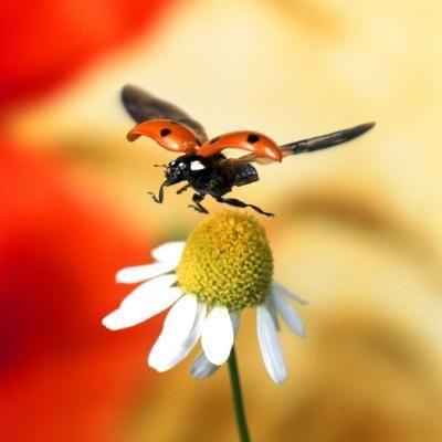 Difference Between Male Female Ladybugs Ladybird Ladybug Insects