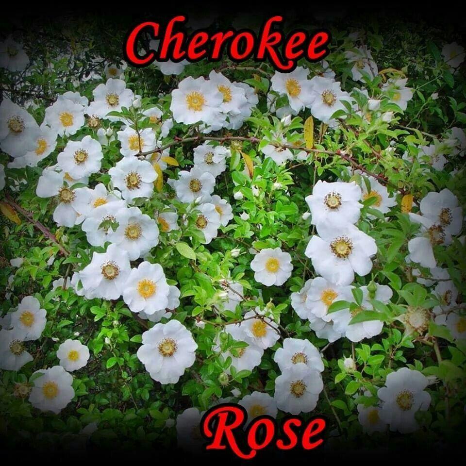 Cherokee Rose Cherokee rose, Trees to plant, Flowers