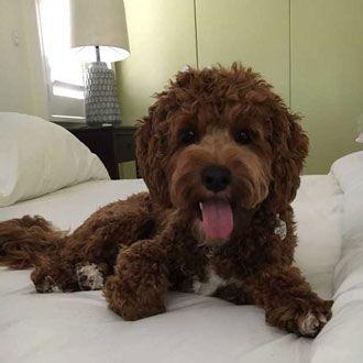 Cavoodle puppy melbourne