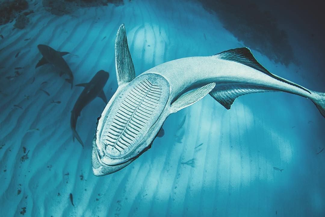 """This is a remora fish which is Latin for """"hindrance"""". A fitting name for this particular fish - photo#26"""