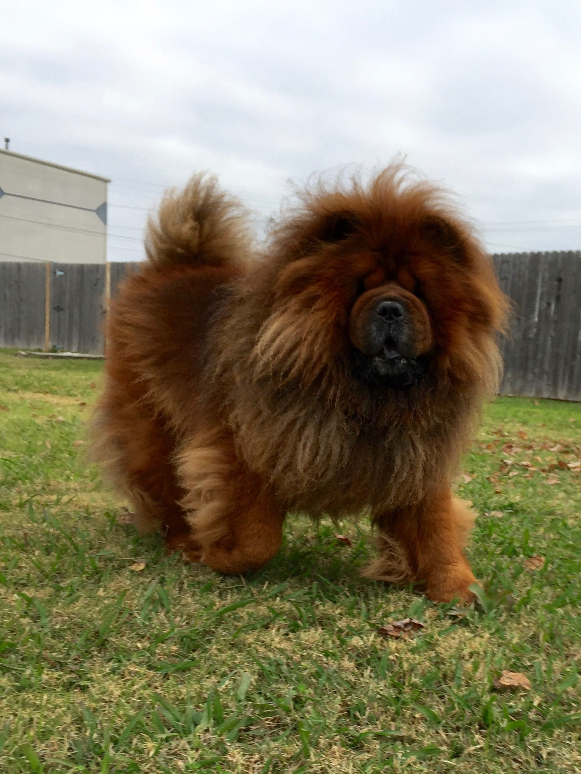 Kong The King Chow Chow Puppy Chow Chow Dogs