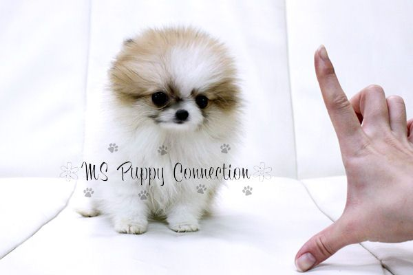 teacup dogs | New York Teacup Puppies For Sale: Pomeranian
