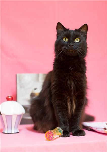 Did Someone Say Cat Hello I M Chocky I M A Beautiful Dark Brown Cat Well Almost Black Really And I M Staying At The Pet Barn In Brown Cat Pets Adoption