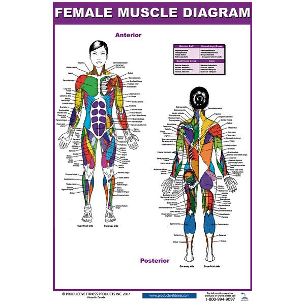 muscle blank drawing - google search | muscle_whole body, Muscles