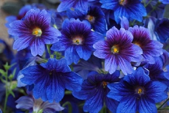 Royale Mixed Salpiglossis 50 Seeds