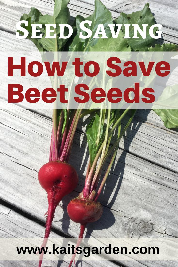 Seed Saving How To Save Beet Seeds Kaits Garden Beet Seeds Seed Saving Garden Types