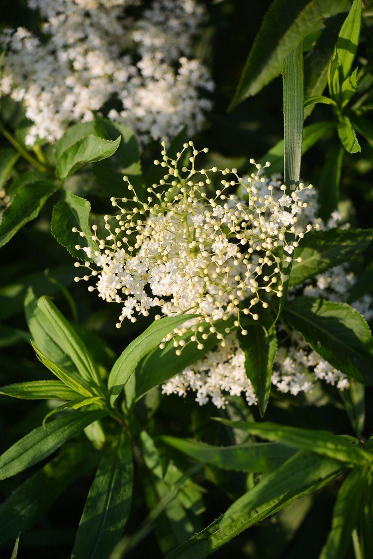 Oranzada Z Kwiatow Bzu Wg Pani Zosi Naturalnie Gazowana Klaudyna Hebda Blog Plants