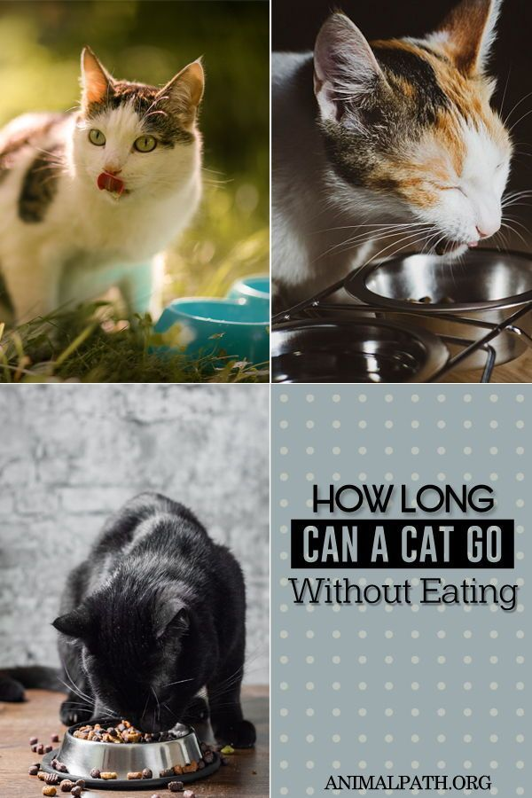 How Long Can A Cat Go Without Eating In 2020 Cats Cat Nutrition Cat Food