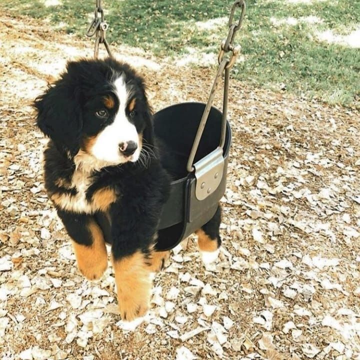 Photo of Bernese Mountain Dog Undercoat Bernese Mountain Dog Oklahoma… #bernesemountain…