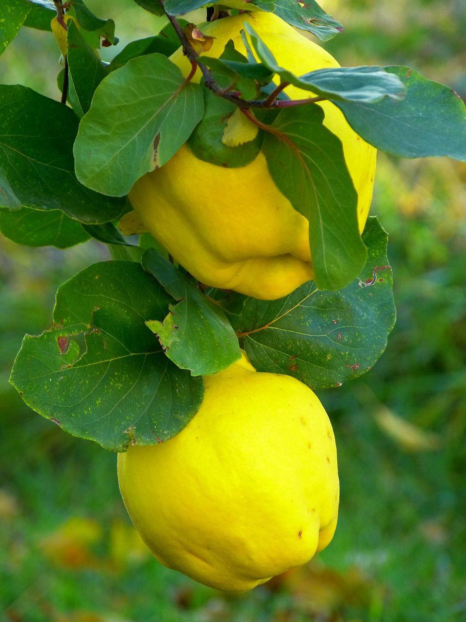 Free Image on Pixabay Quince, Fruit, Plant, Leaf, Tree