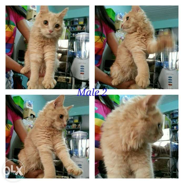 Grey persian cat olx