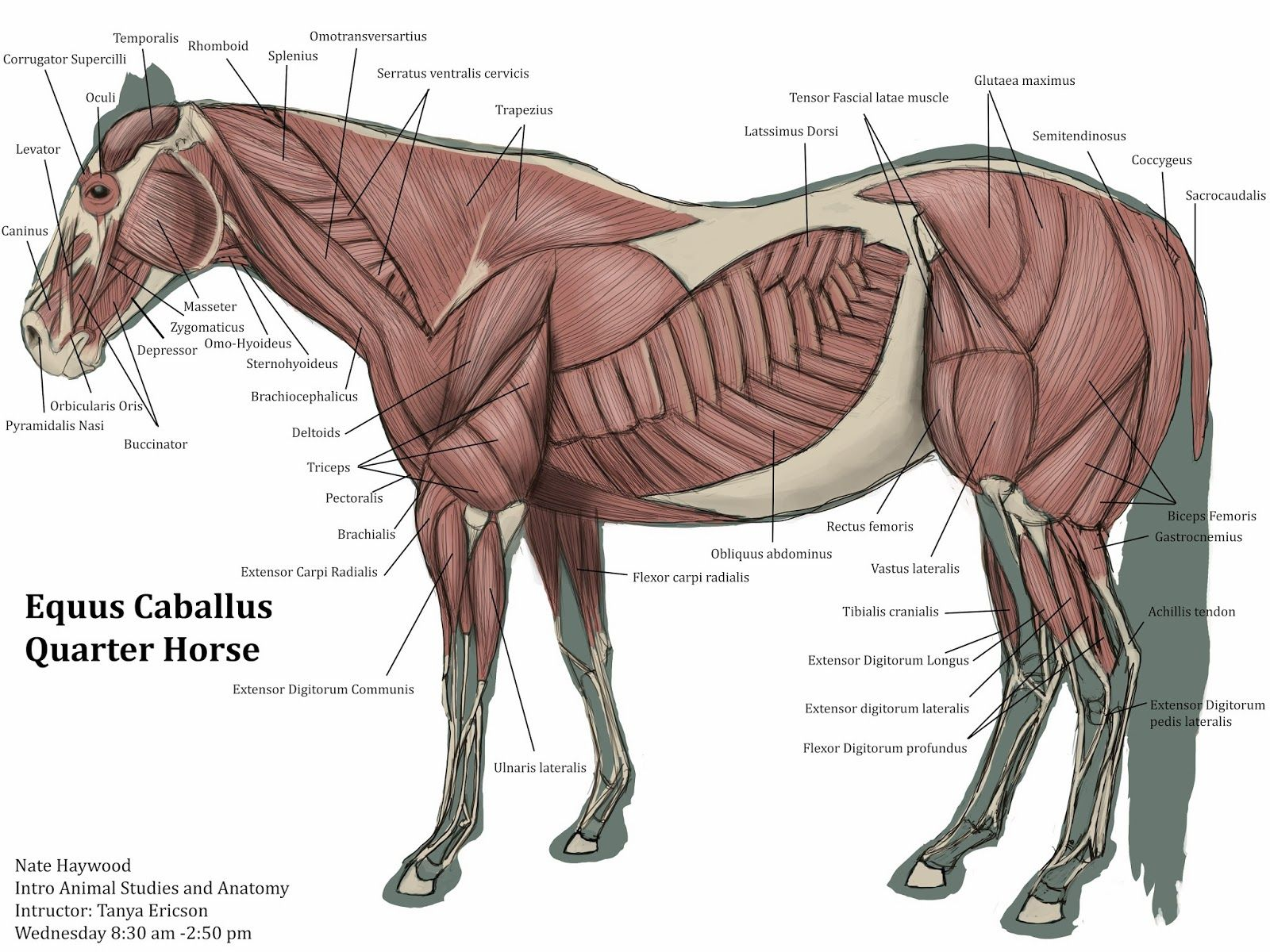 animal muscles - Cerca con Google | EQ Anatomy | Pinterest | Muscles ...