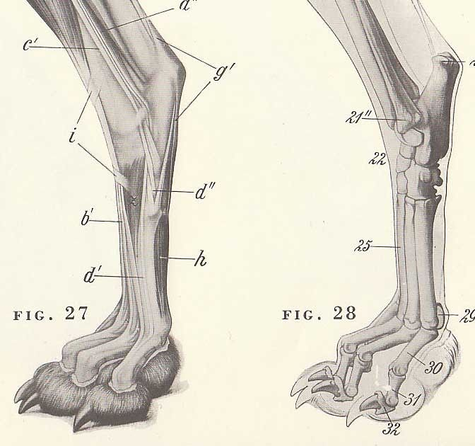 Dog Foot Skeleton Anatomy Vintage Illustrations Collected And