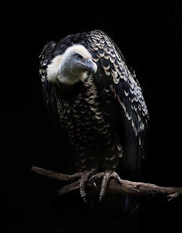 Rüppell's Griffon Vulture: The World's Highest-Flying Bird ...