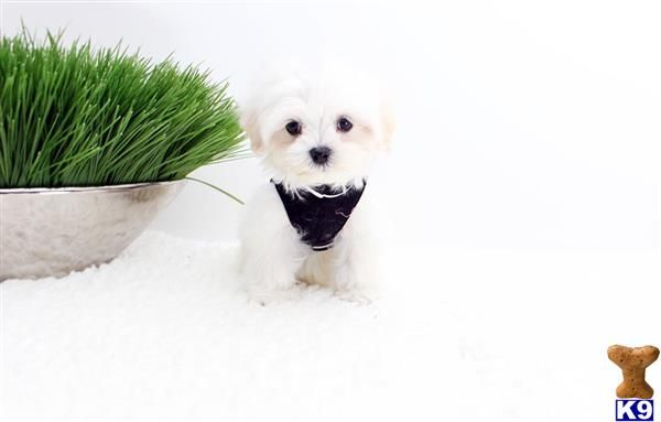 to K9Stud (With images) Teacup puppies for sale